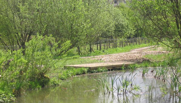 Pond dipping platform at Leesbrook